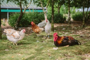 Cage-free Egg Production at FAI do Brasil