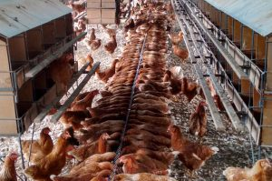Cage-Free Egg Production at FAI do Brasil