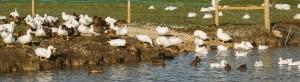 Organic High Welfare Ducks