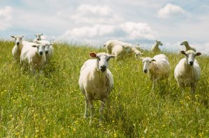 Implementing The 5 Point Plan To Tackle Sheep Lameness