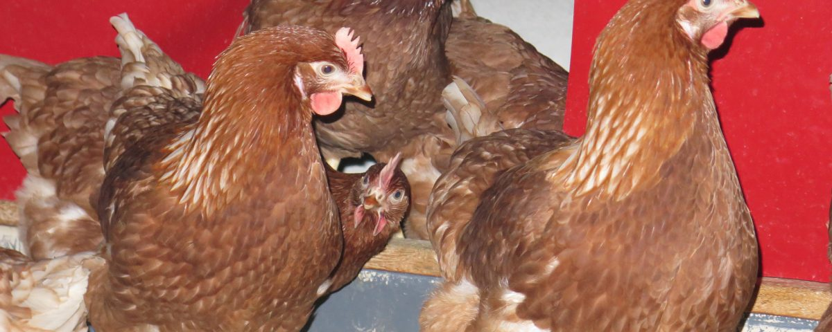 Mcdonald's UK Research Sheds Further Light On Welfare In Free-Range Flocks - FAI Farms