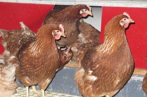 Mcdonald's UK Research Sheds Further Light On Welfare In Free-Range Flocks - FAI Farms