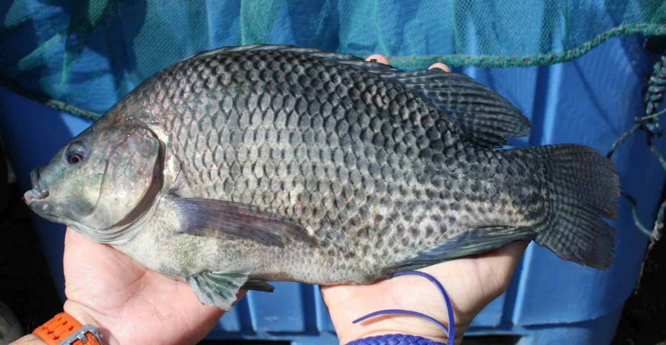 Top class tilapia due for Brazilian launch