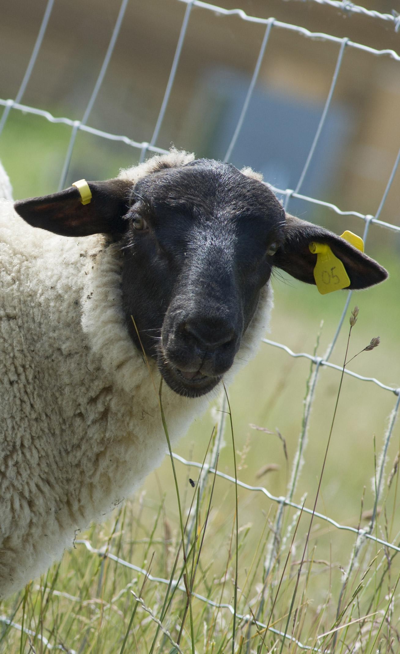 Sheep Lameness 5 Point Plan