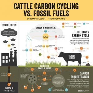 Cows Carbon Cycling vs Fossil Fuels