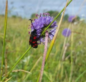 Burnet moth feeding on devils bit scabious