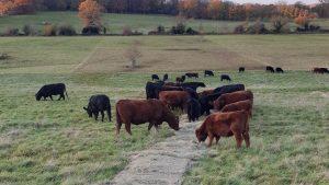 Beef Cattle - FAI Farms