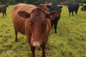 Regenerative Beef