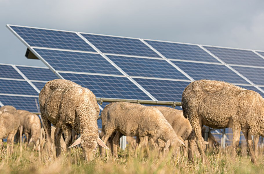 solar power panels with grazing sheeps